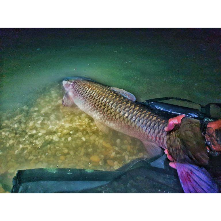 A hal természetesen, visszakerült a vízbe pár fotó után. Én úgy gondolom, hogy egy ekkora halnak inkább a vízben van helye, mint a hűtőben :)