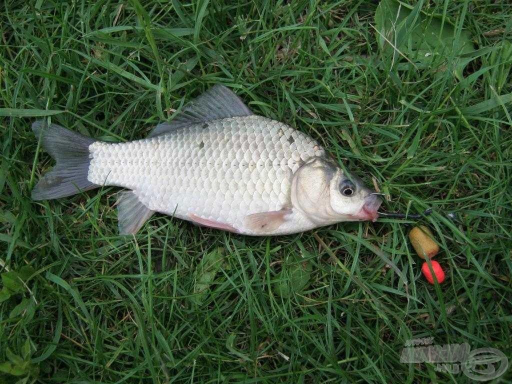 Nagy gondot okozott az, hogy hogyan tudom szelektálni az apró halak közül a pontyokat. A dupla csalival ez többnyire sikerült is, de a képen is látszik, hogy olykor nem
