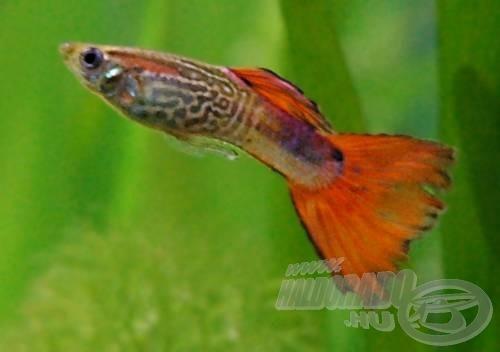 Felső szájállású hal a guppi (Poecilia Lebistes reticulata)…