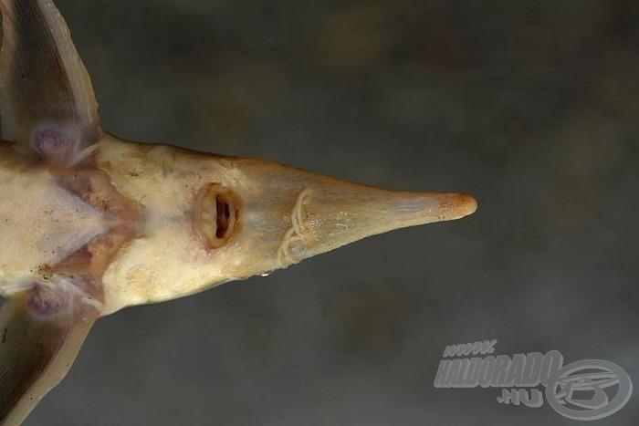 Alsó állású szája a jellegzetes bajusszal