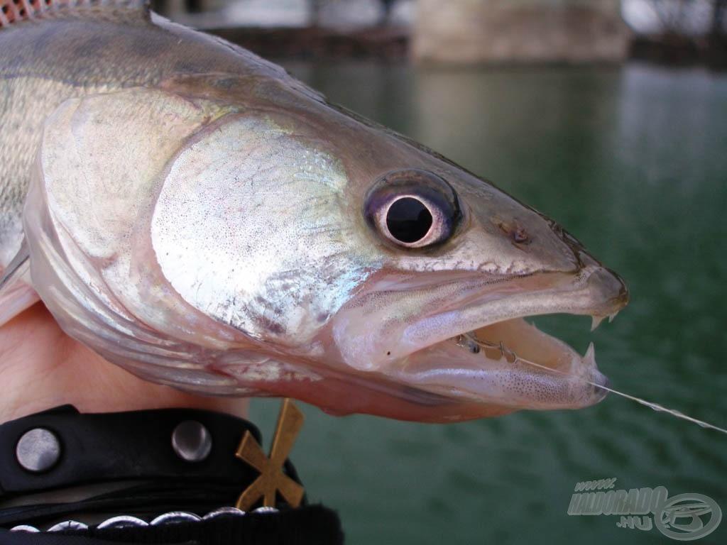 """Amikor jól eszik a süllő, gyakran """"rászalad"""" a gumihalra"""