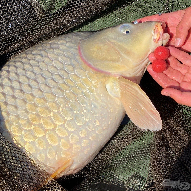 A Big Fish bojli nem hibázik, egész évben megbízható csali