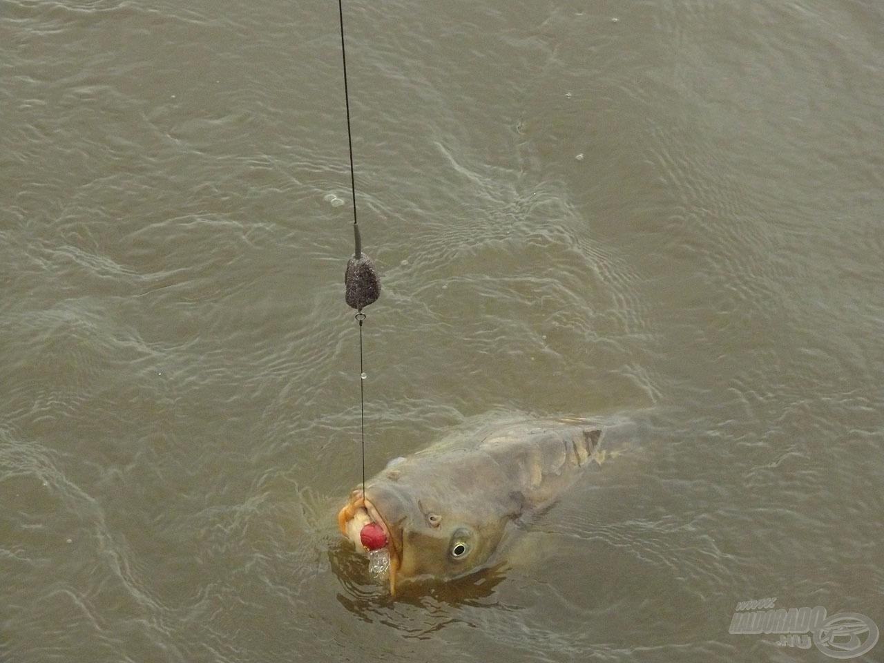 Először ők is a Big Fish bojlit részesítették előnyben