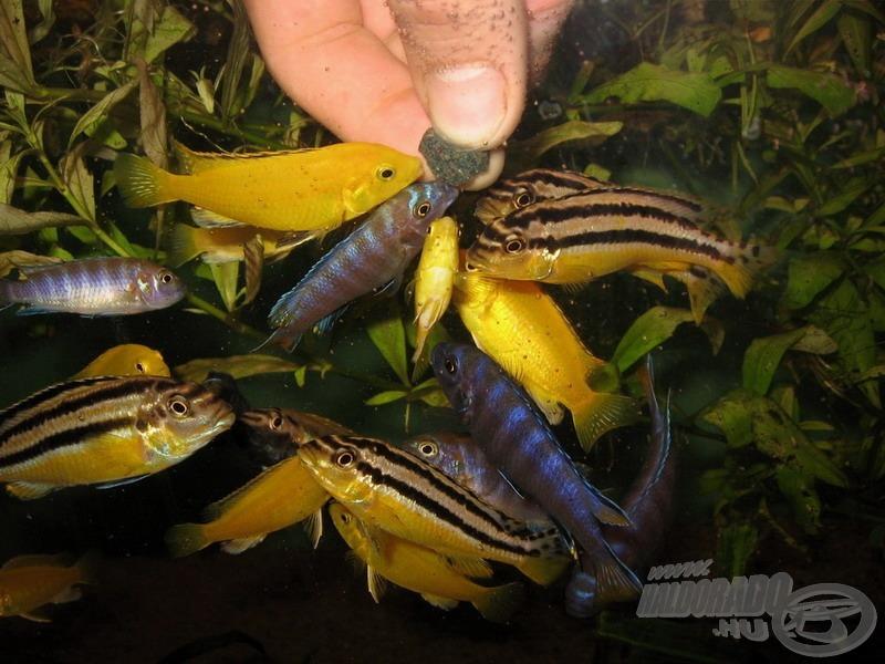 A kékes színű karcsú sügérek sem akarnak lemaradni az etetésről