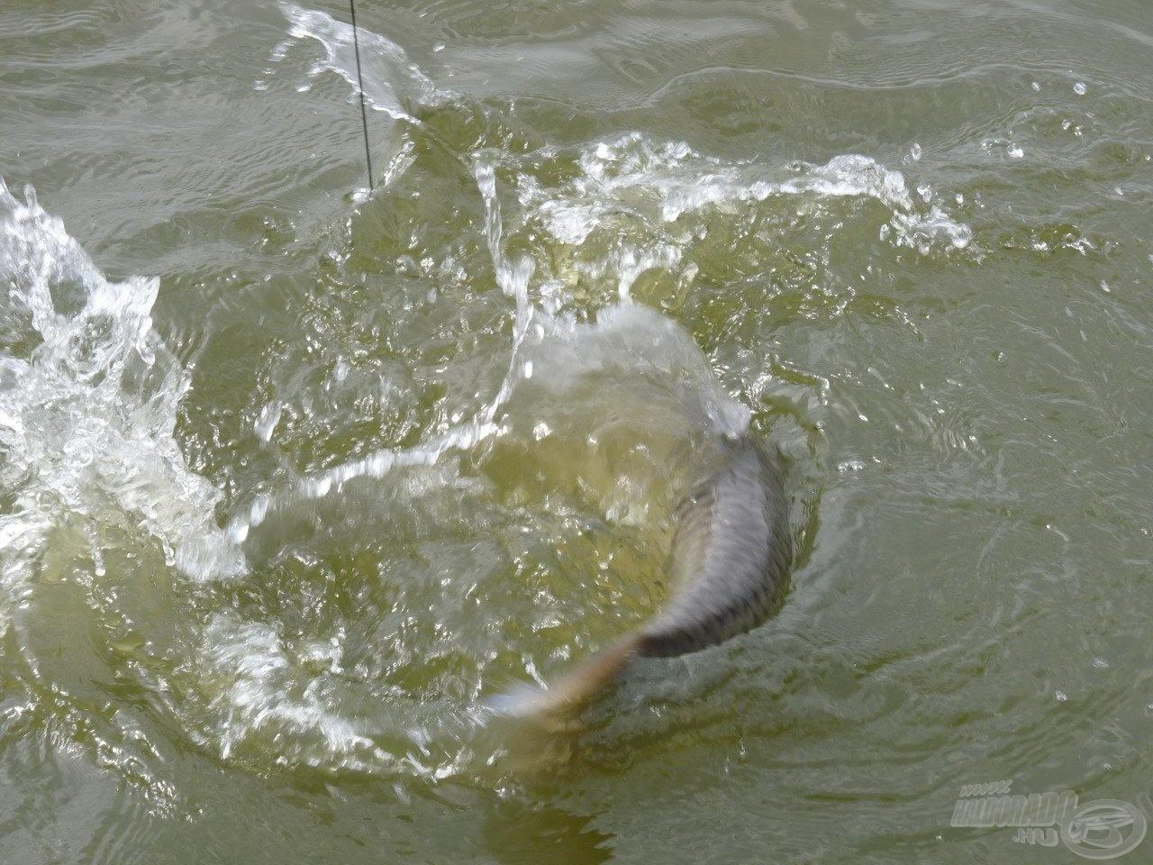 E tulajdonsága miatt nagyon szeretek rá horgászni