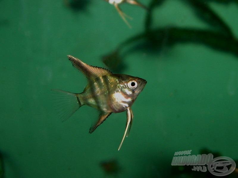 Eme 32 napos hal megközelítőleg életnagyságú a kinagyítatlan fotón