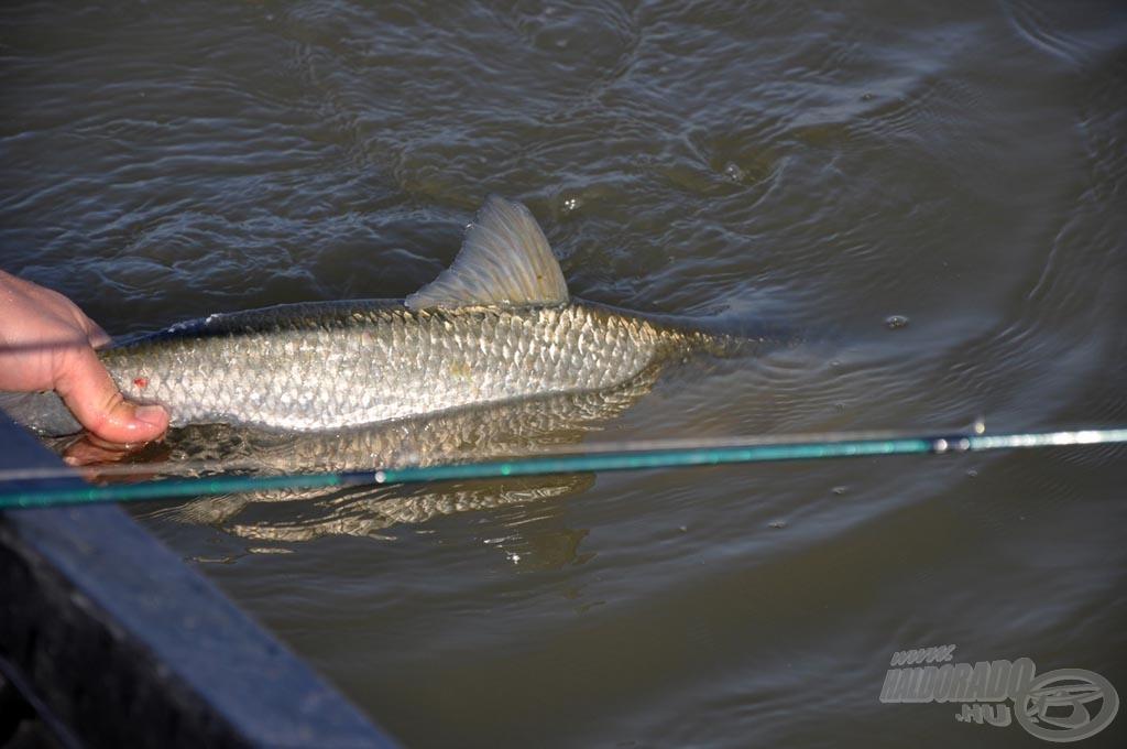 Szerencsére a konyhára kevésbé viszik el a horgászok, ezért nagy számban él vizeinkben