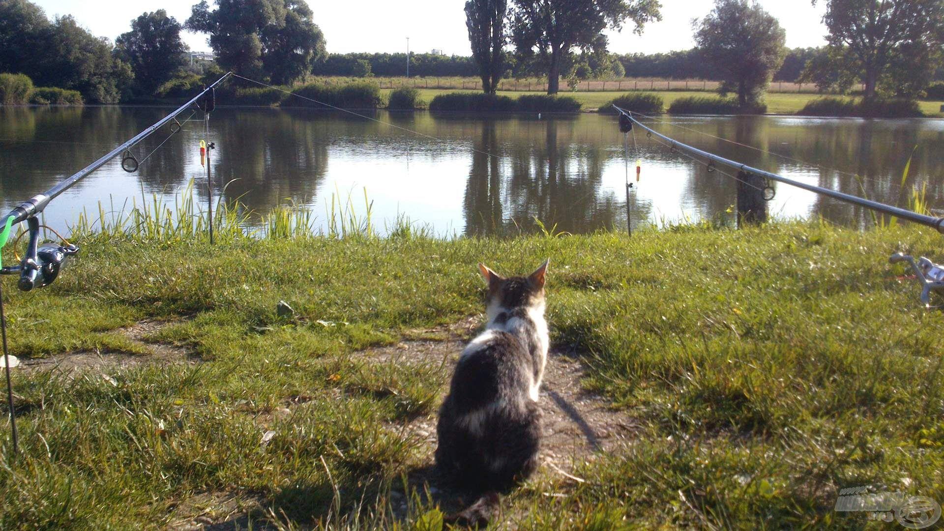 A halakra leskelődő kis cica