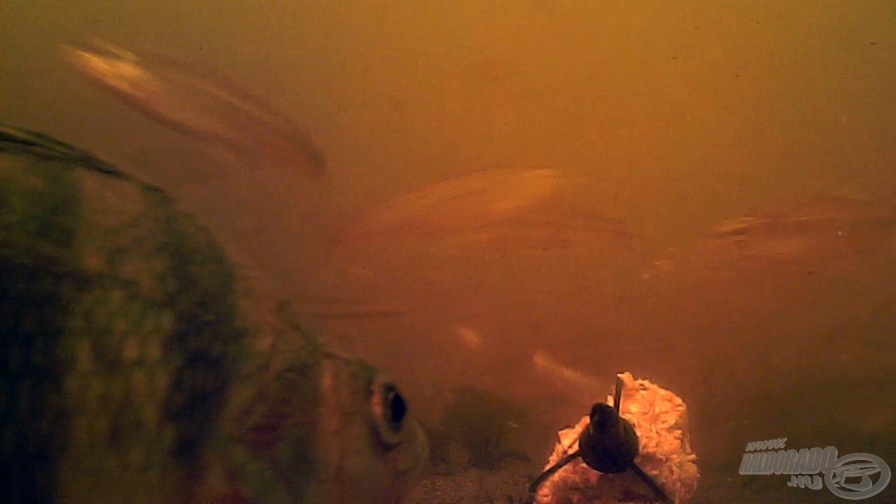 Aztán, amikor a ragadozó is felfigyel a habzsi-dőzsire... láttam a kamerán egyébként még harcsát, naphalakat és csukát is