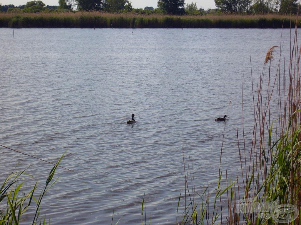 Fürdőző kacsák