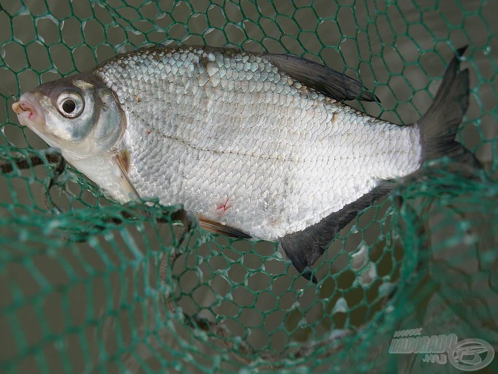 Ilyen mesés, kiló körüli halakért jöttünk