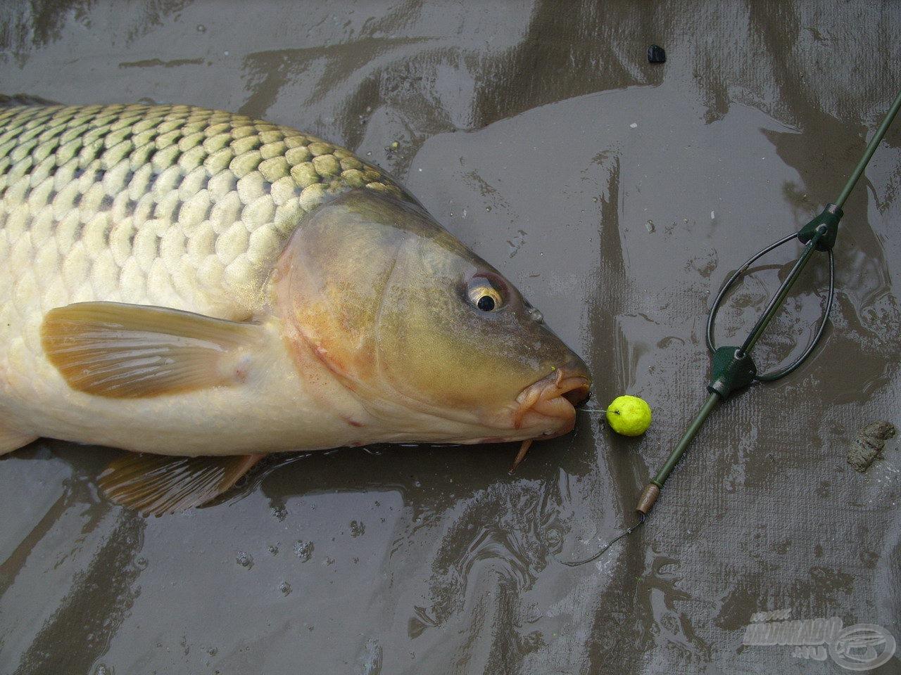 A halak általában olyan gyorsan visszahozták a bevetett csalit, hogy annak alig volt ideje oldódni