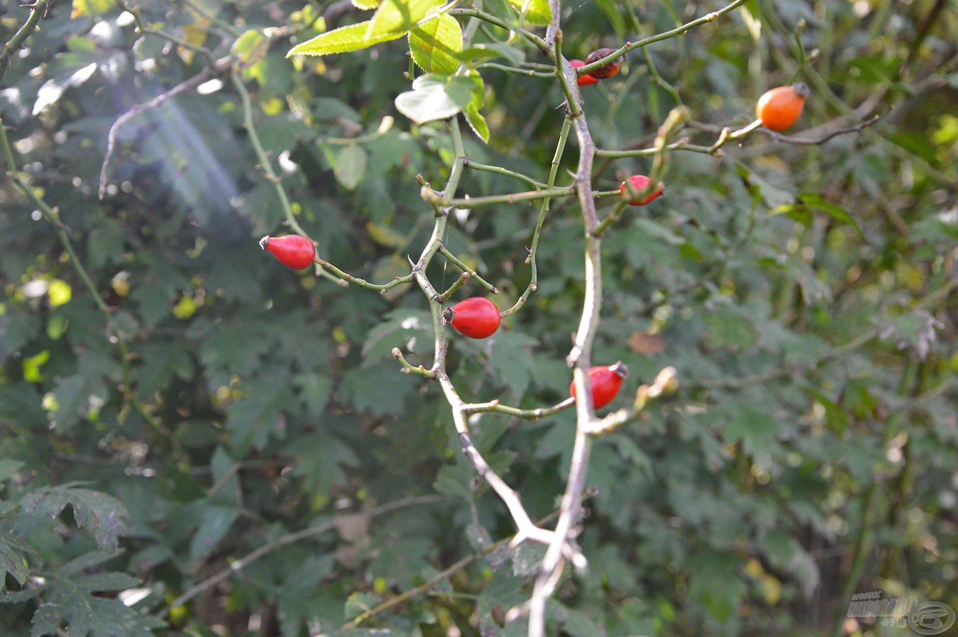 A csipkebogyók érése is az ősz beköszöntét jelzi