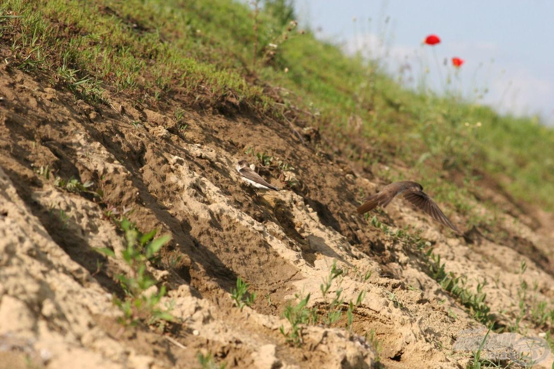 … amik a gátoldal felett vadásztak apró rovarzsákmányaikra