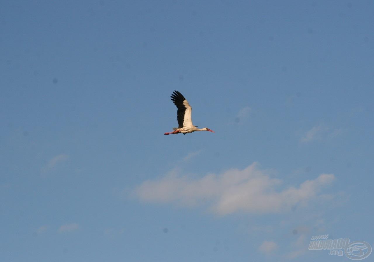 … ezért nem meglepő, hogy gyakran látni a rájuk vadászó gólyákat és egyéb gázlómadarakat a vízpartok környékén