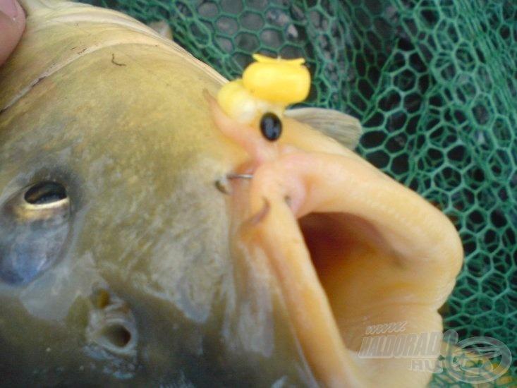Fura, ámde tökéletes akadás! A bajszos 2 szem Mandula Bomba nevű kukoricát vett fel! Súlya 3,5 kg volt! Már a második horgászat során sikerült megdönteni korábbi rekordomat!