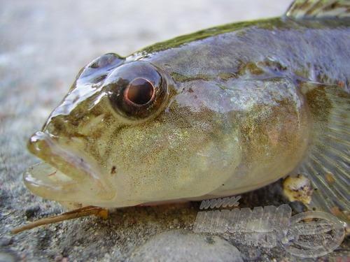 A folyami géb feje-szája kisebb, az étvágya azonban neki is hatalmas