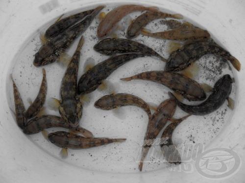 Jelenleg a kerekfejű géb a leggyakoribb faj a Dunán. Megfigyelhető a színbeli változatosság, de az a bizonyos fekete folt mindegyikük hátúszóján megvan