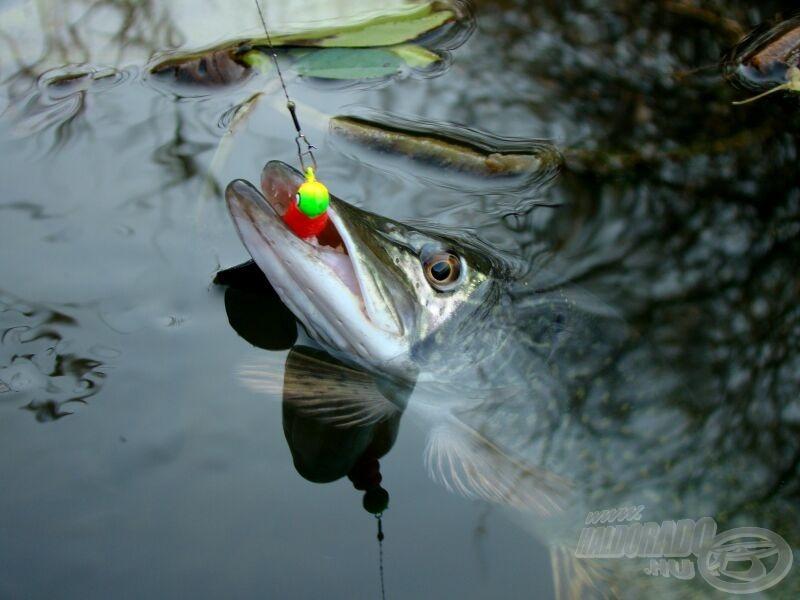 A víz felett már a hal is látszik