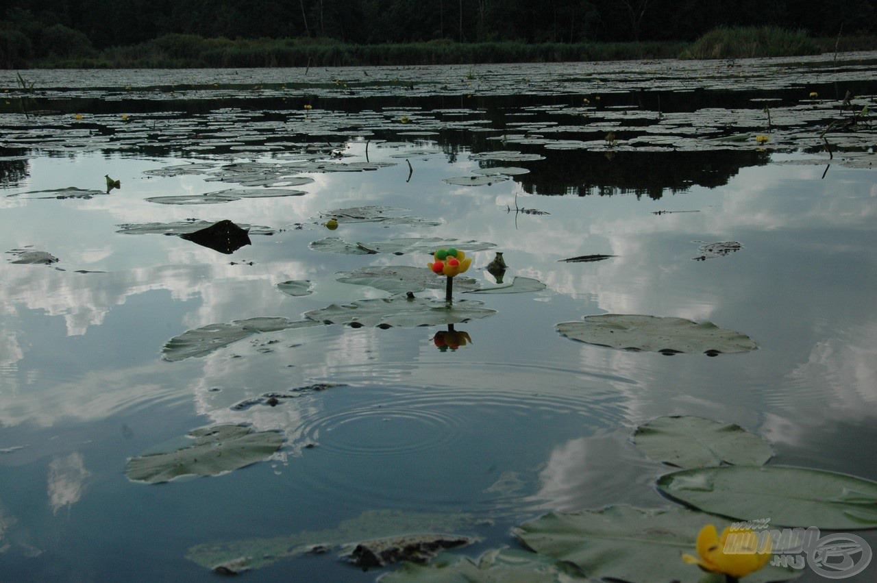 Ez a szép sárga virág, mely oly sok örömet és néha bánatot tud okozni a pontyhorgászoknak