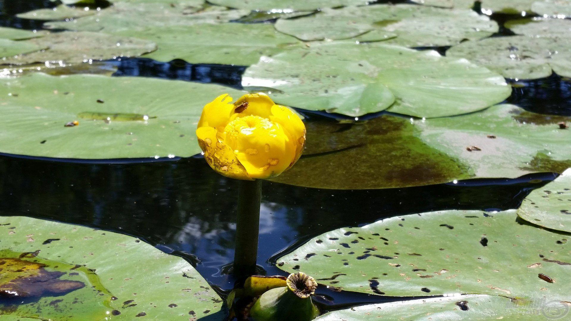 Ez a kis virág, ami hatalmas örömöket és bánatokat is tud okozni