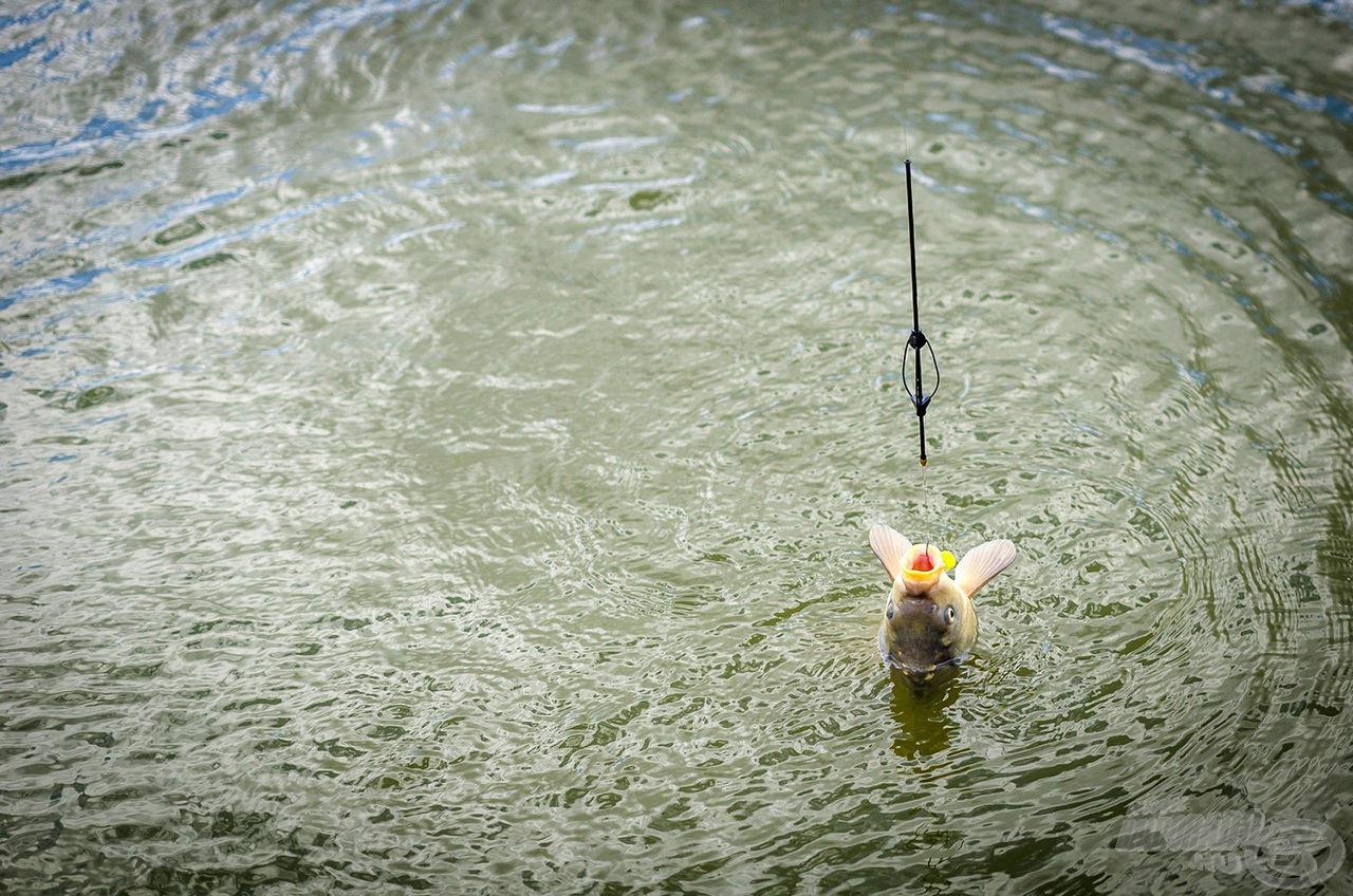 A következő hal ismét egy fiatal tükrös