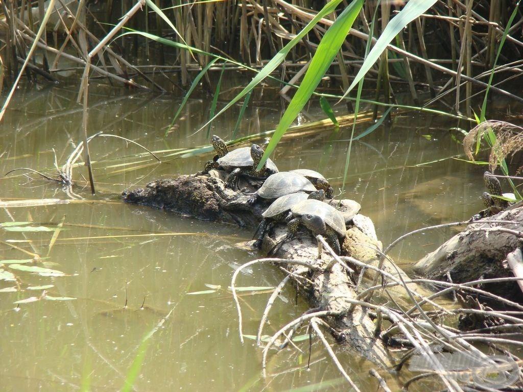 Egyik kedvenceim, a napozó teknősök
