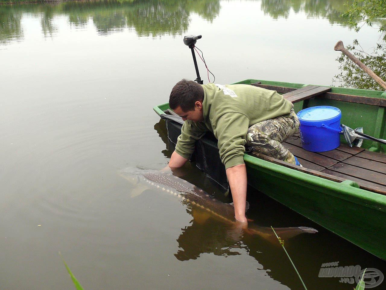 Természetesen nagy odafigyeléssel kell szabadon engedni ezt a gyönyörű halat is!