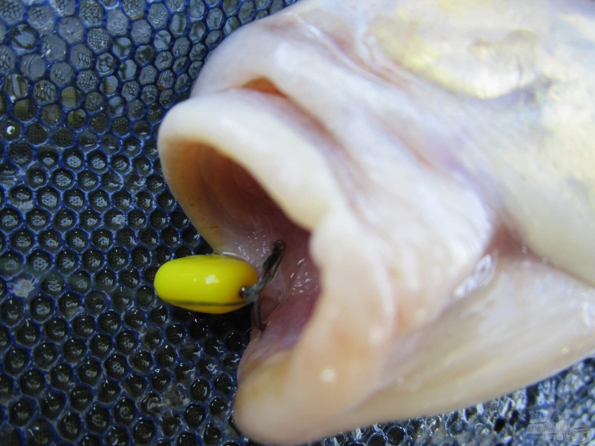 A 12-es méretű GURU QM1-es horog jól akadt. Kedvelem ezt a kicsi szakáll nélküli horgot, mert nem okoz nagy sebet és könnyű eltávolítani