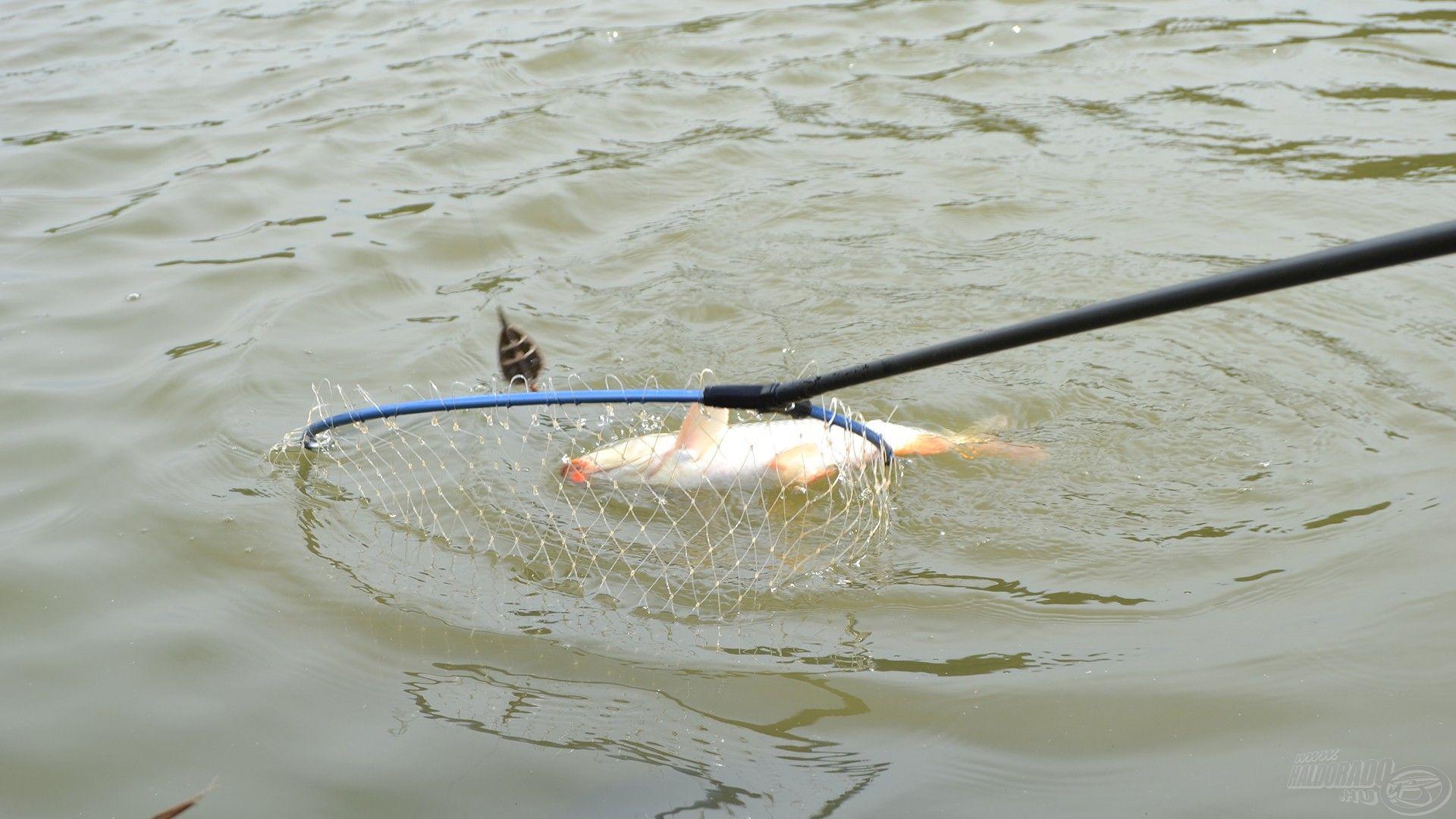 … és már úszik is a merítőbe az első halam