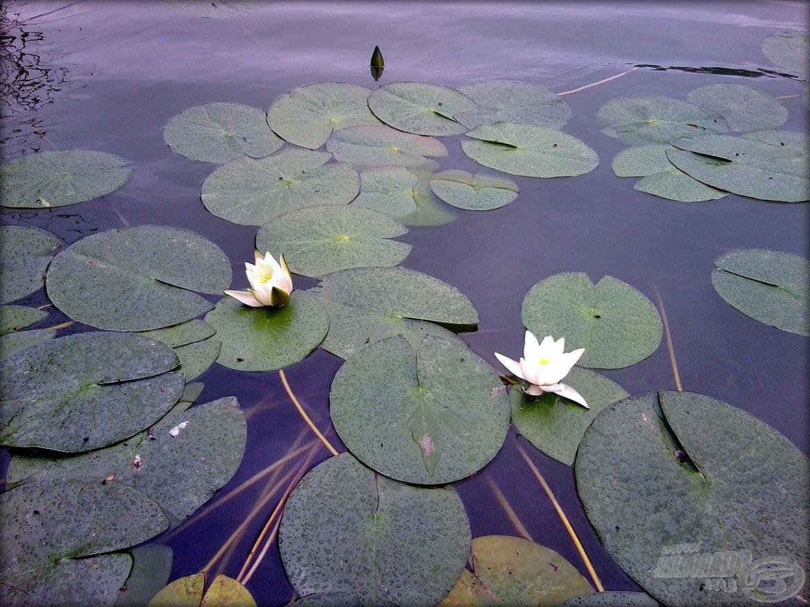 A tavirózsa vagy egyéb, vízen lebegő növényzet környékét mindenképp érdemes megvallatni