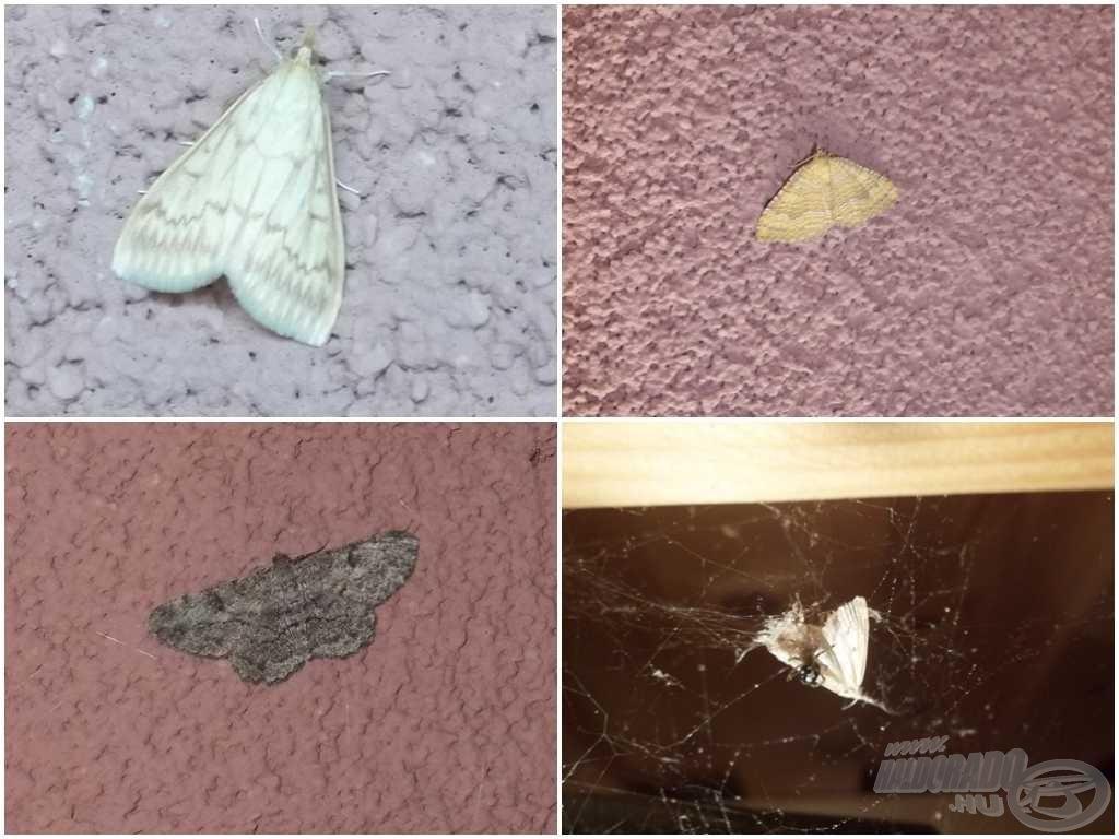 Lepkék a falon és a pók hálójában