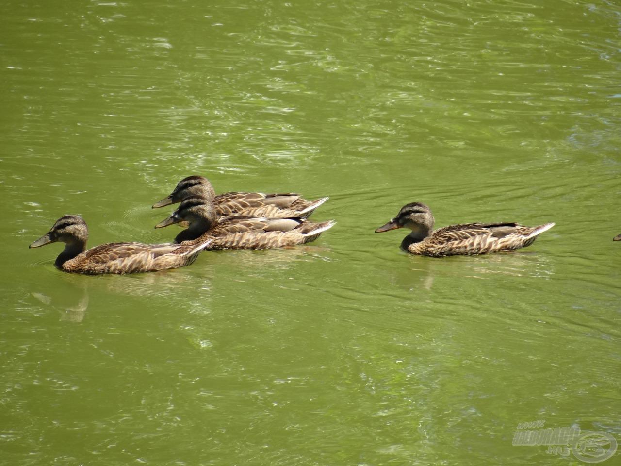 Kacsák, csoportban