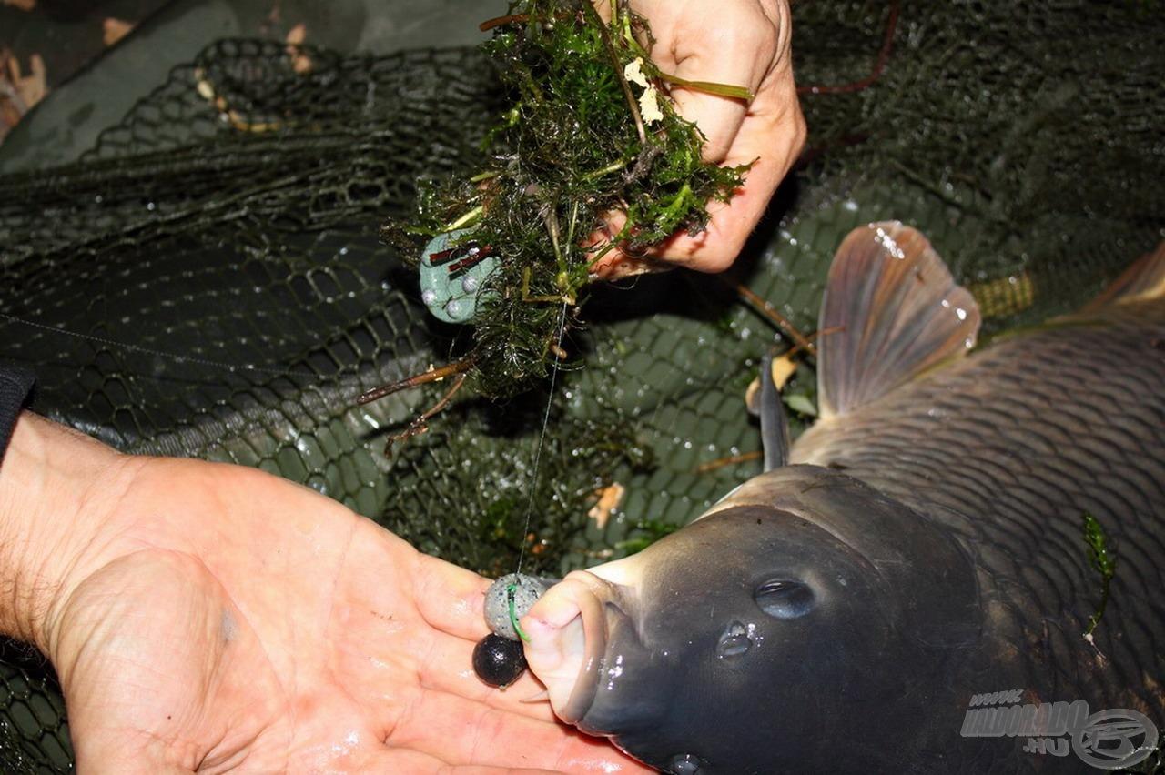 Egy korábbi emlékezetes fogásom, amely során az ízletes csalit is visszahozta halam