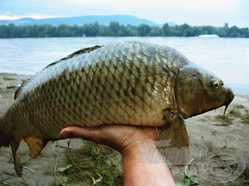 Egy igazi, dunai nyurga ponty. Vajon hol született, honnan jött? A Duna nem árulja el!