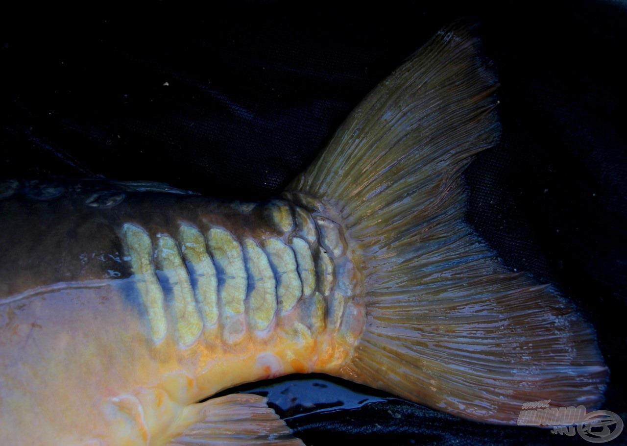 Egyedi pikkelyek jellemezték halamat