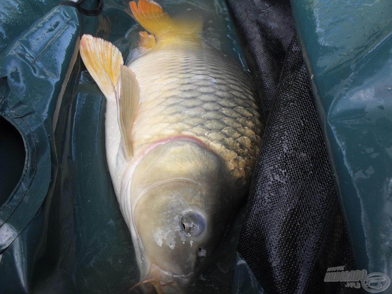 A kihelyezett halbölcsőben garantált a halak biztonsága, a tisztelet és a kíméletesség elsődleges szempont