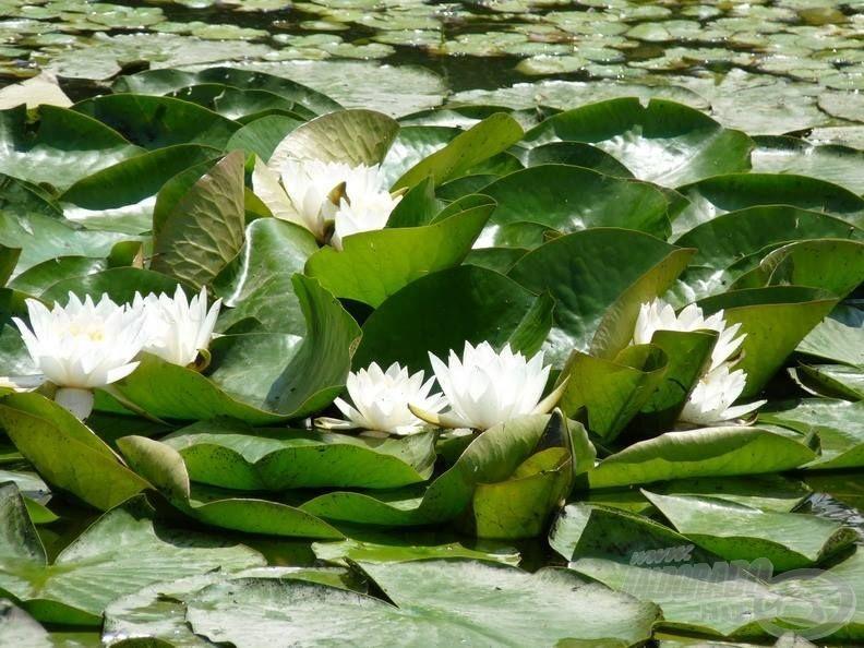Vízen úszó szépség