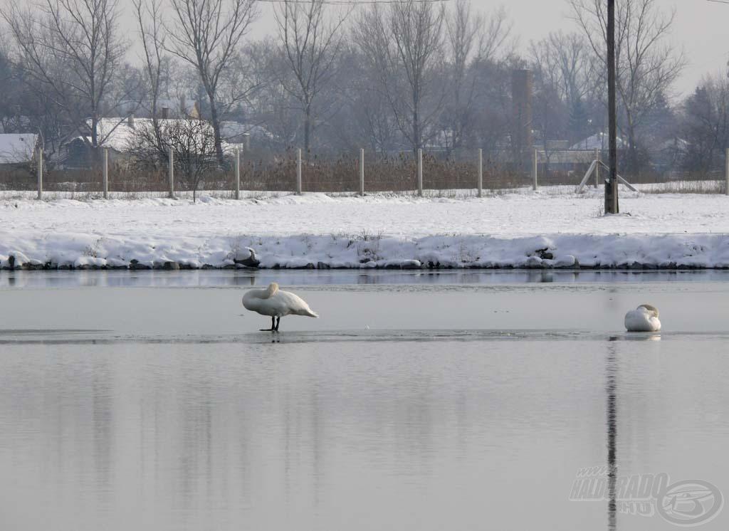 A tó egy része még be volt fagyva, a hattyúk a jégen álltak