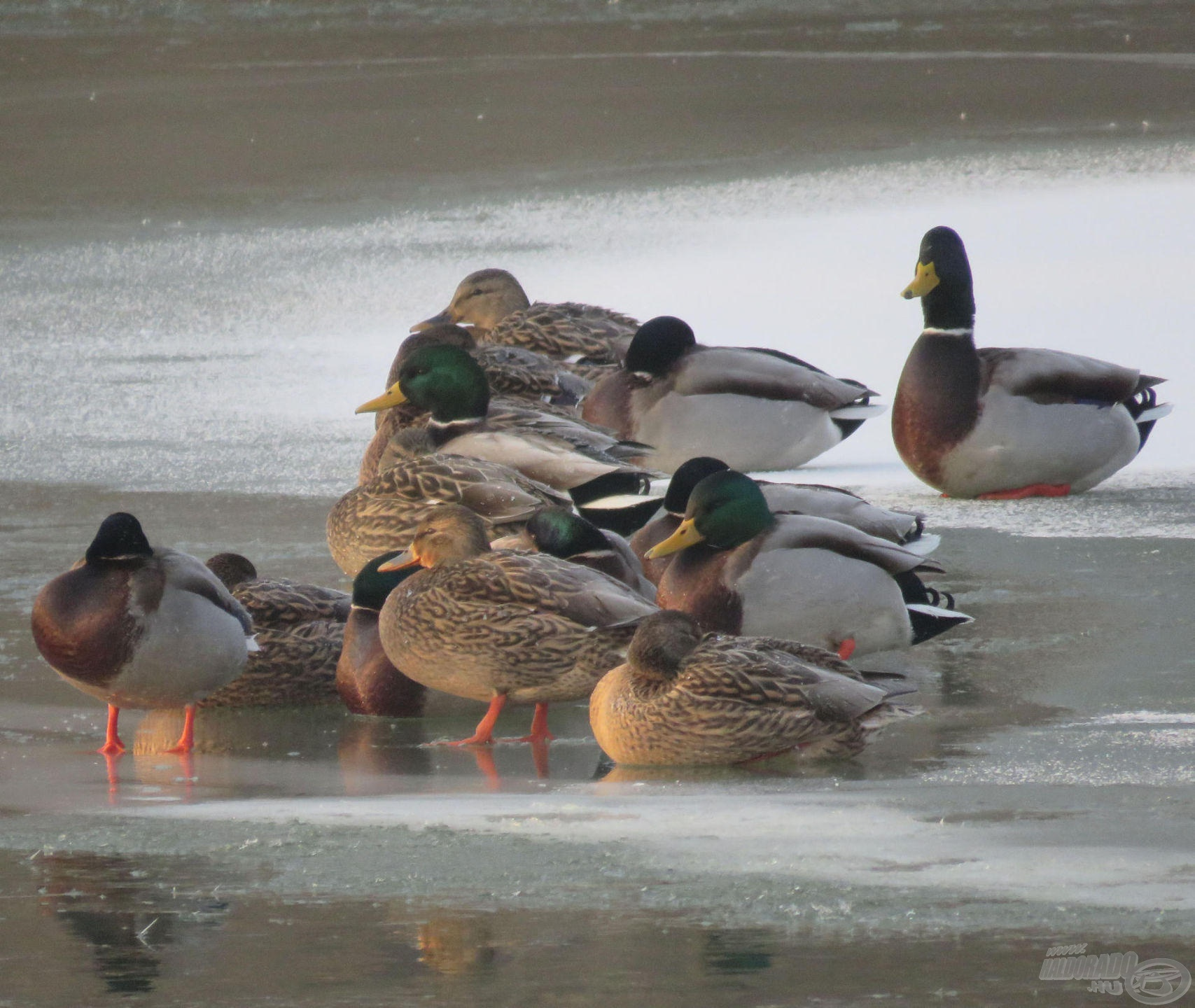 A kacsák összebújtak a nagy hidegben