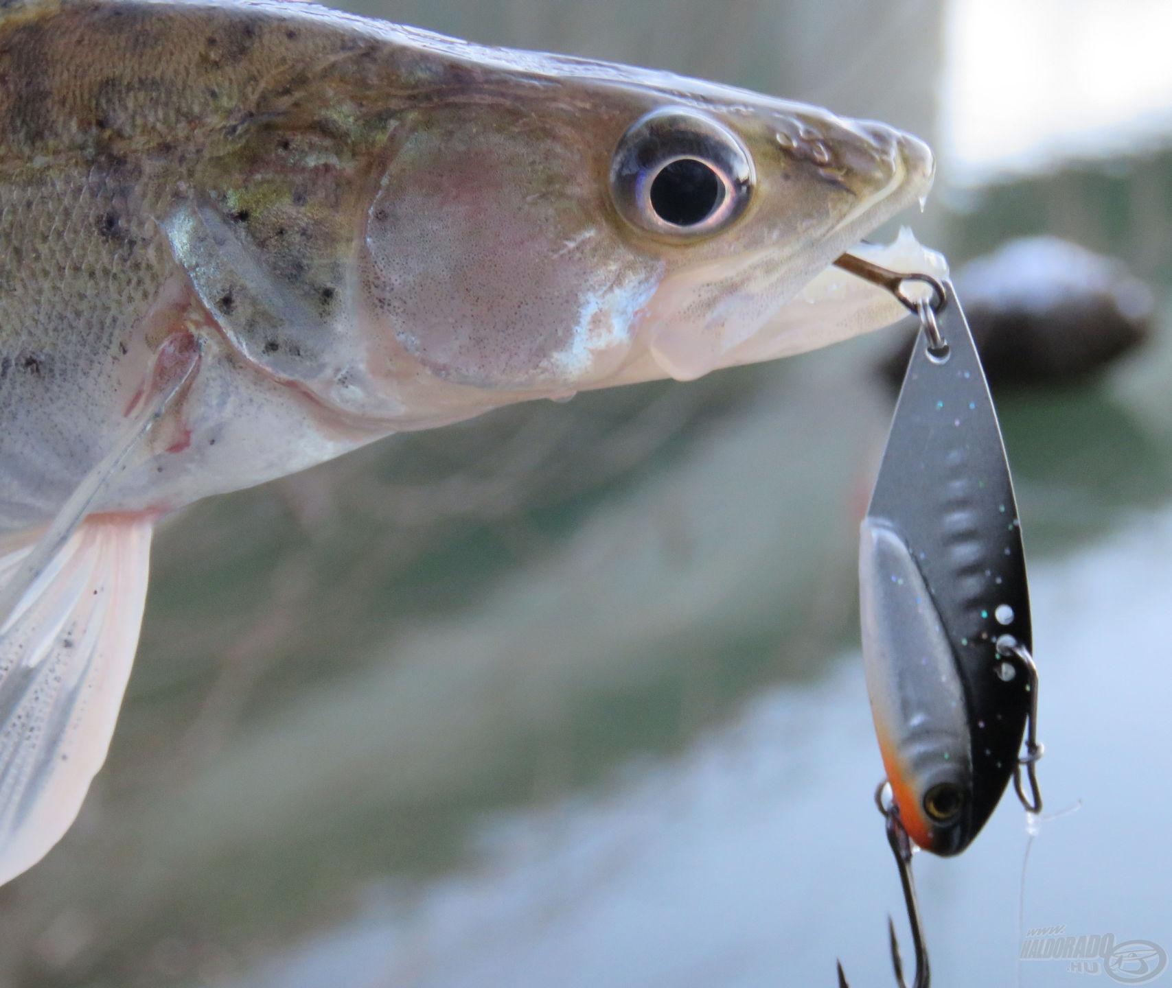 A nagy létszámú halrajban nehéz volt süllőt fogni