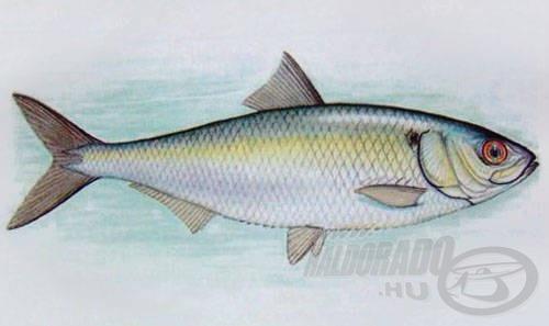 Dunai nagyhering (Caspialosa kessleri pontica = Alosa pontica)