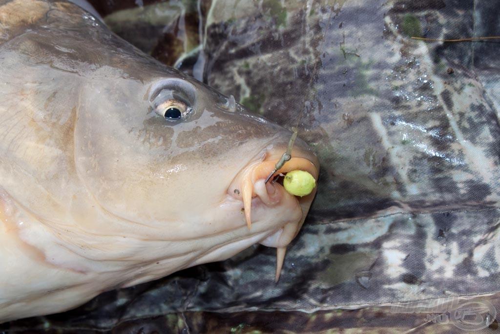 Már az első napon kiderült, hogy melyik lesz a nyerő csali és etetőanyag. A halak nem tévesztenek!