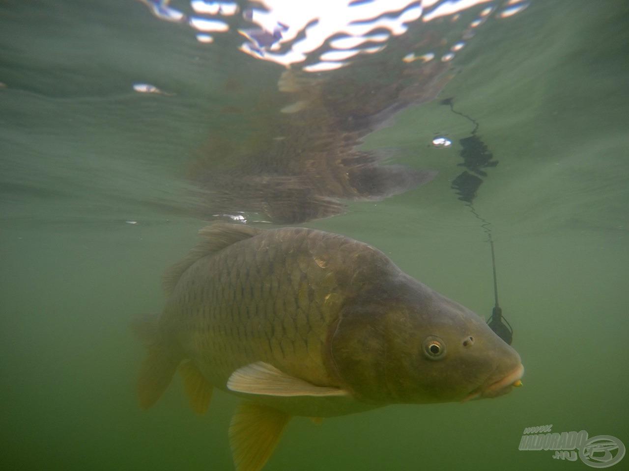 A Method Flat kosárral kombinált szerelék elképesztően hatékonynak bizonyult a kereső horgászat során