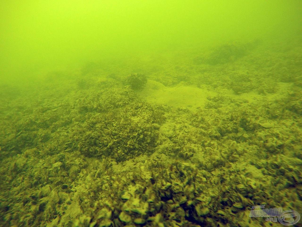 A balatoni hal erejét és kicsattanó egészségét a kagylók adják. Szinte korlátlan mennyiségben áll rendelkezésre