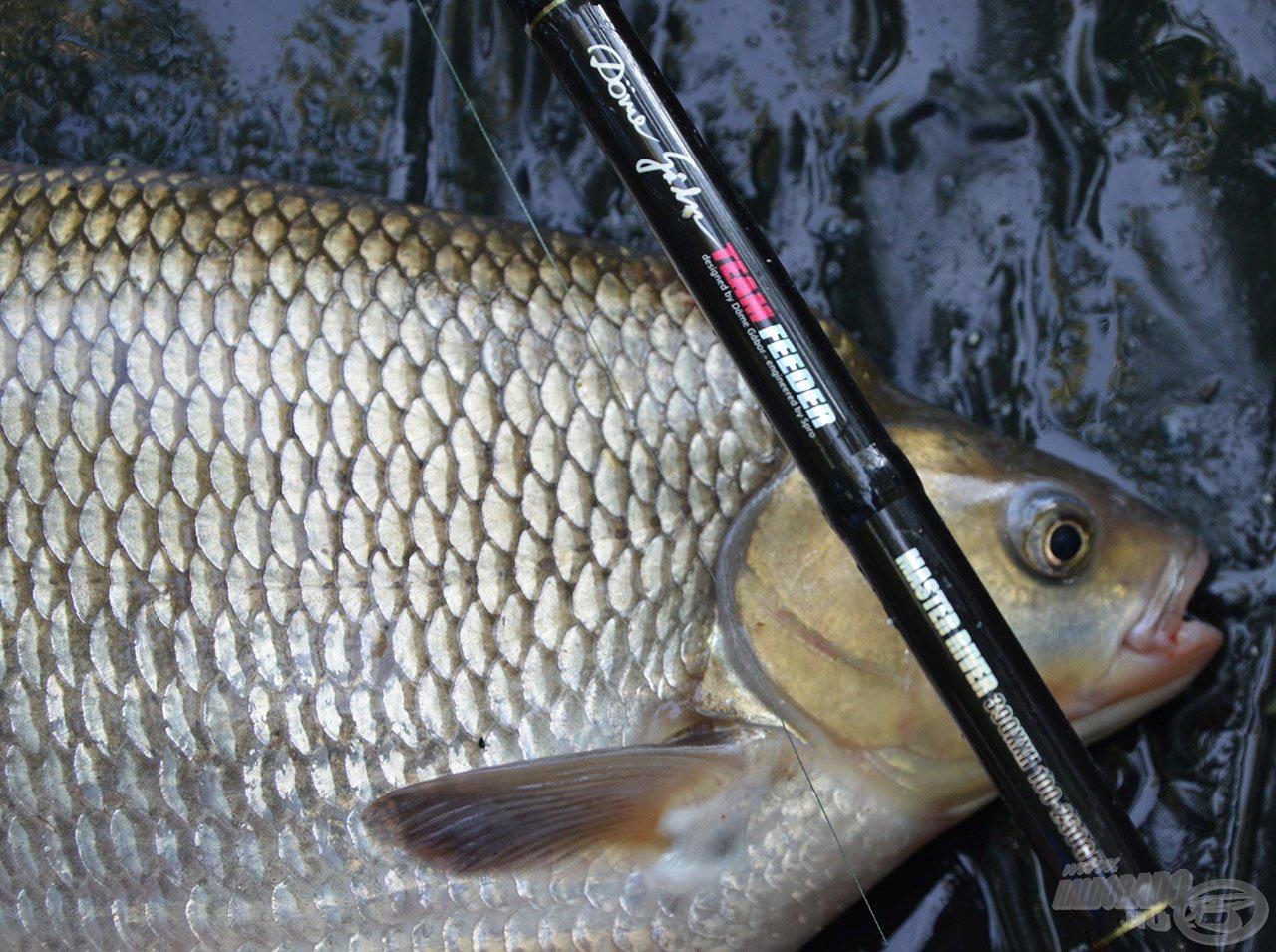 Ezen a képen jól látszódik, hogy mennyire vaskos, öreg hal