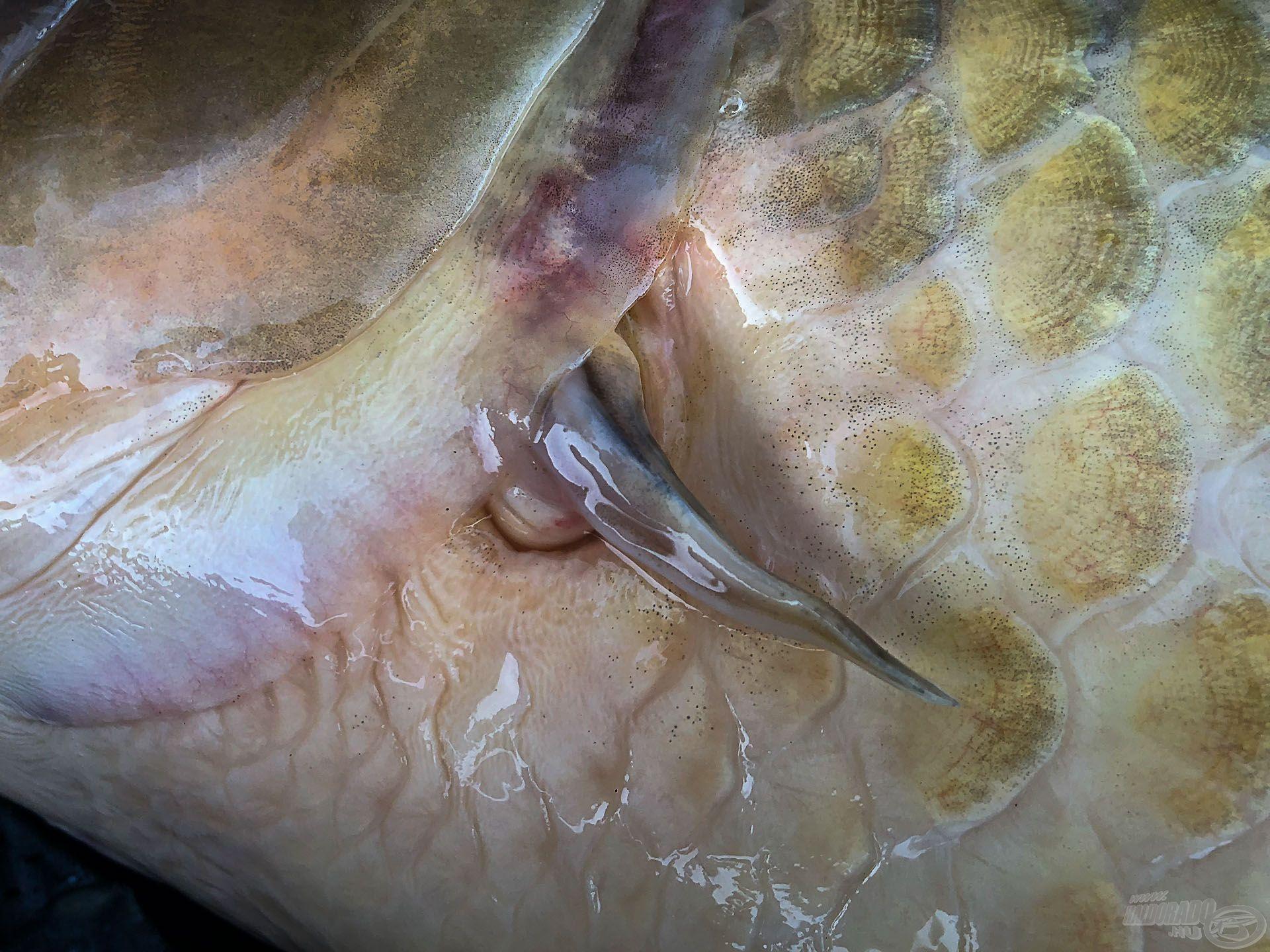 Van egy egyedi azonosítója is: a bal mellúszója csonka