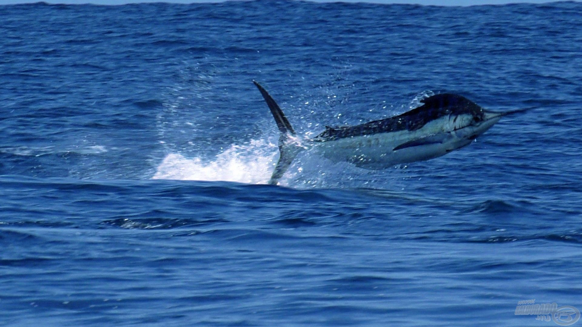 3 méteres hal a levegőben… bődületesen gyors és erős hal