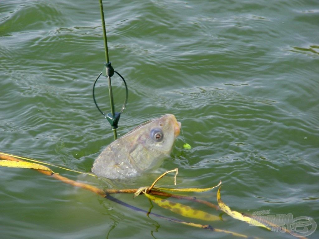 A hal szájában jól kivehető a kisméretű, faragott ananászos pellet… ilyen egy fárasztás közbeni jól elkapott pillanat
