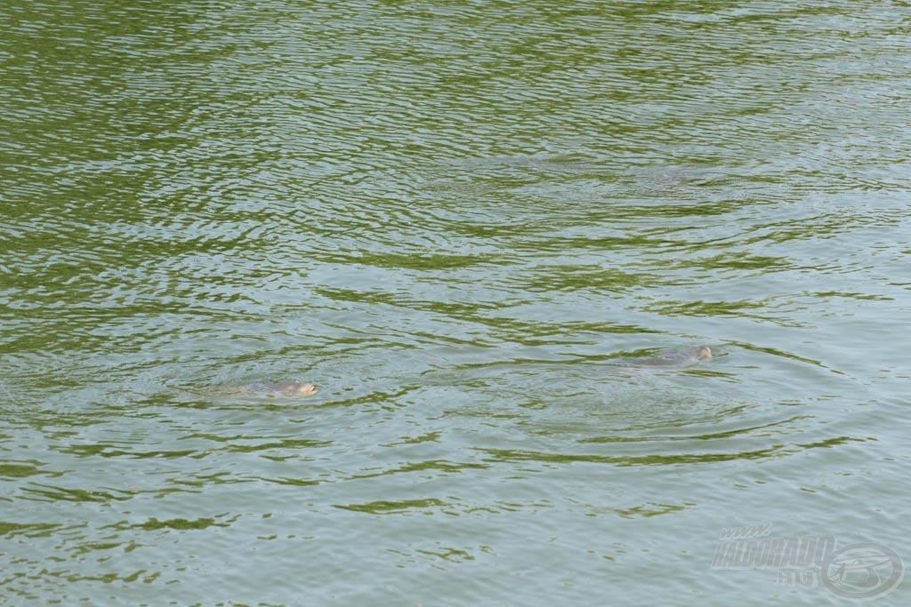 Úszó pelleteket csipegető pontyok